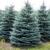 Whitehall Christmas Trees