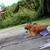 ABC Dogs,   Ann Becnel Companion Dogs, Inc