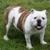 Adorable Bulldog Puppies