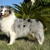ALL-STAR SHELTIES KENNEL