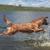 Golden Retriever Puppy Breeder - Floden Farm