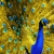 Peacock Bailbonds