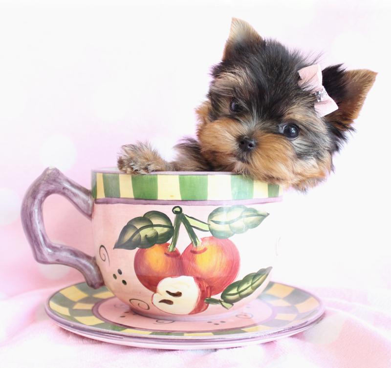 TeaCups, Puppies & Boutique 5195 S University Dr, Davie, FL 33328 ...