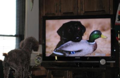 Bostic Veterinary Hospital - Virginia Beach, VA. Henry watching TV.
