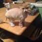 Alani's Paw & Spa - Modesto, CA. My Persian paprika! Loves Alani's paw and spa