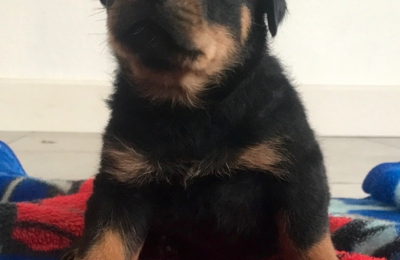 Stoneroad Company - Rottweiler Breeder of Northern California - Chico, CA. Boy - Baltar ready for new home 5/10/17 Call 530-828-8287