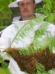 J. Groppel with a swarm of honeybees!