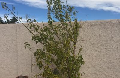 Plant World Nursery Las Vegas Nv This Is A Eureka Lemon