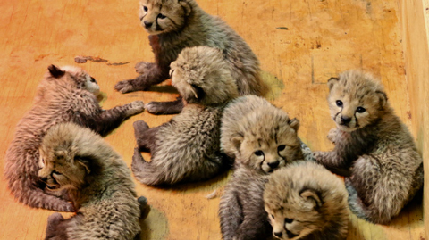 Baby Cheetahs from the St. Louis Zoo.