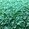 Phoenix Microgreens