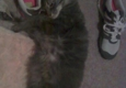 Southfield City Animal Control - Southfield, MI. My female, adult, spayed cat who is all 4 paw declawed from prior owner was taken or lost by this location. Please help find her $1,000 doll