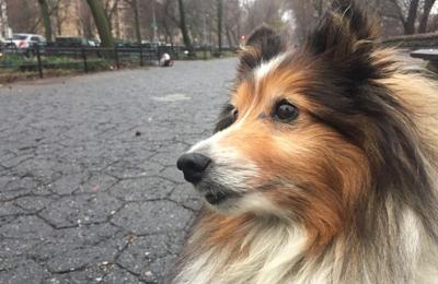 Swifto-Dog Walking in the 21st Century - Brooklyn, NY