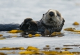 A Whale's Song Expeditions - Sitka, AK. Cute Sea Otter