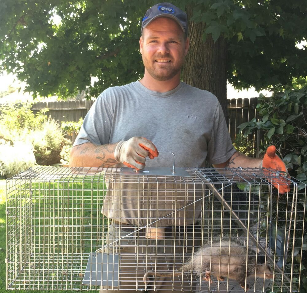 coyote trapping and removal