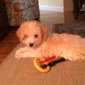 Your Pet's Choice - Southwick, MA. Lexi at 12 weeks