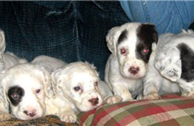 Mountain View Llewellin Setter Kennel - Bonnieville, KY