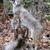 Wildcat Taxidermy