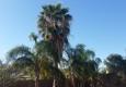 TDR Tree Services - Mesa, AZ. Neglected Palm Tree In Mesa Arizona