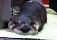 Useless Bay Animal Clinic - Freeland, WA. An abandoned river otter we cared for.