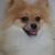 Coco's Little Pomeranian