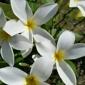 The Exotic Plumeria - Seffner, FL. Beautiful Plumerias.